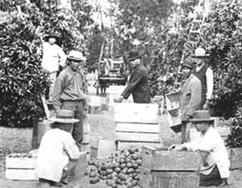 Сбор апельсинов на побережье Санта-Анна. Калифорния. 1880-е гг.